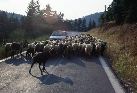 Sheep surround a car on a country road.